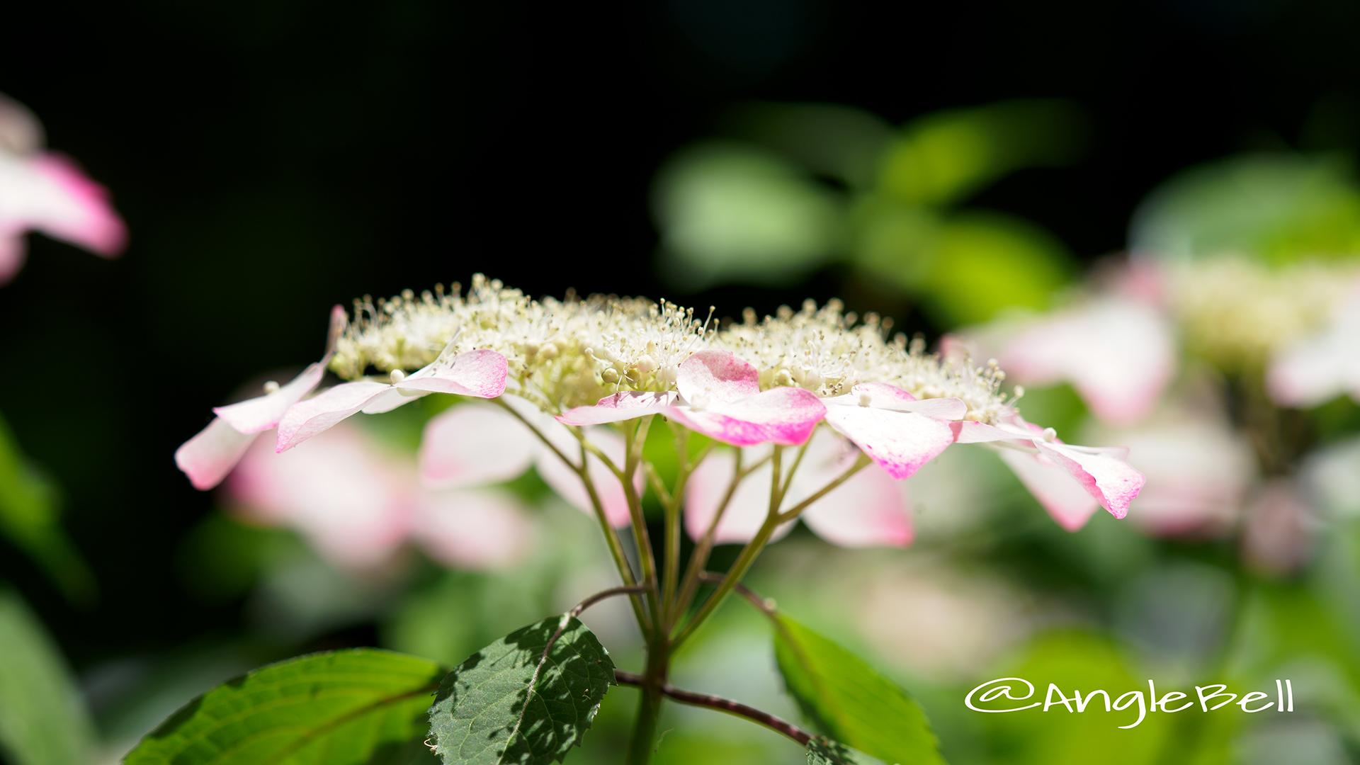 ニジ 虹 (ヤマアジサイ) Flower Photo2