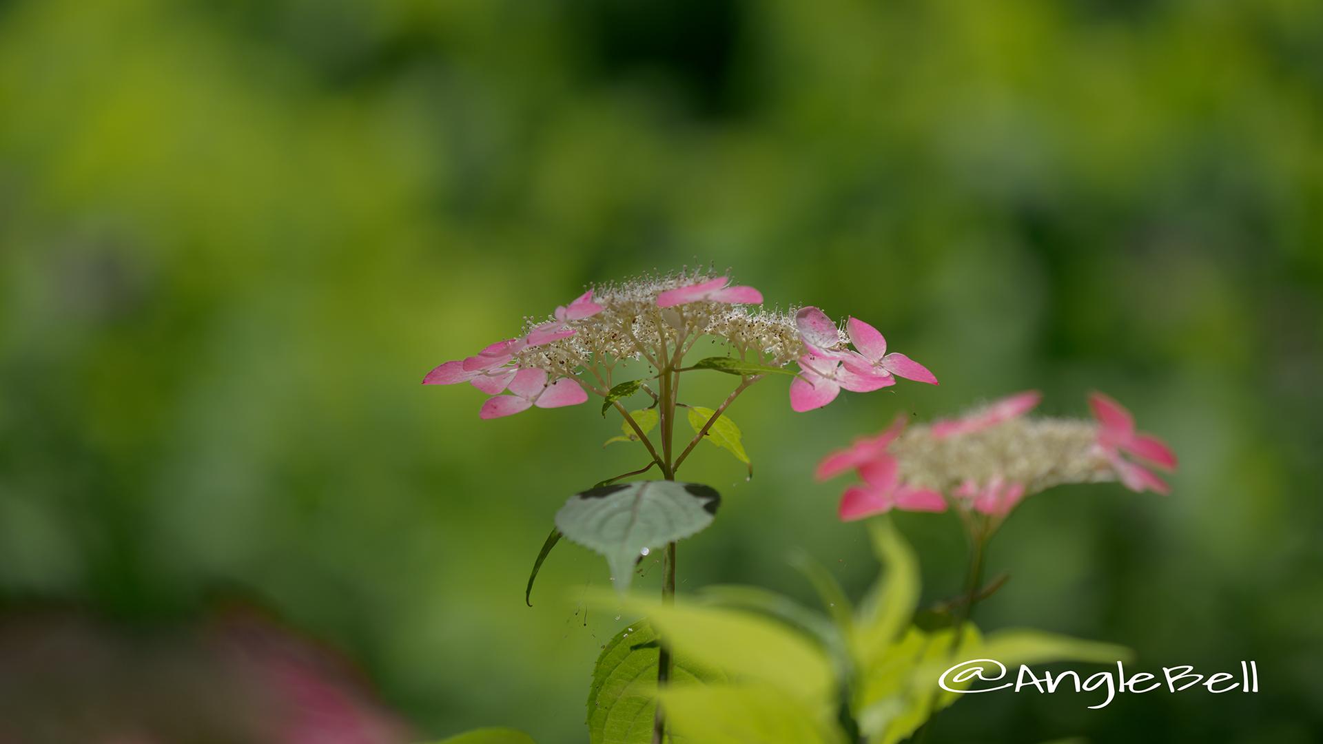 クレナイ 紅 (ヤマアジサイ) Flower Photo2