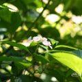 モモイロサワアジサイ 桃色沢紫陽花 (ヤマアジサイ) Flower Photo1