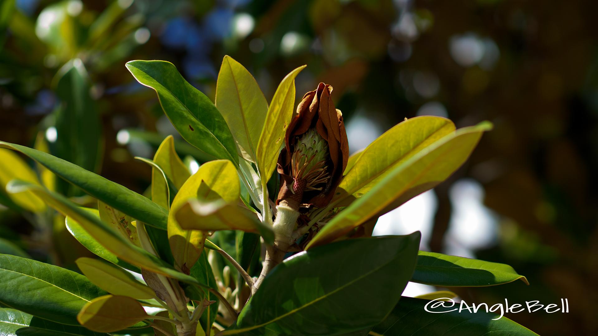 タイサンボク 泰山木 Flower Photo2