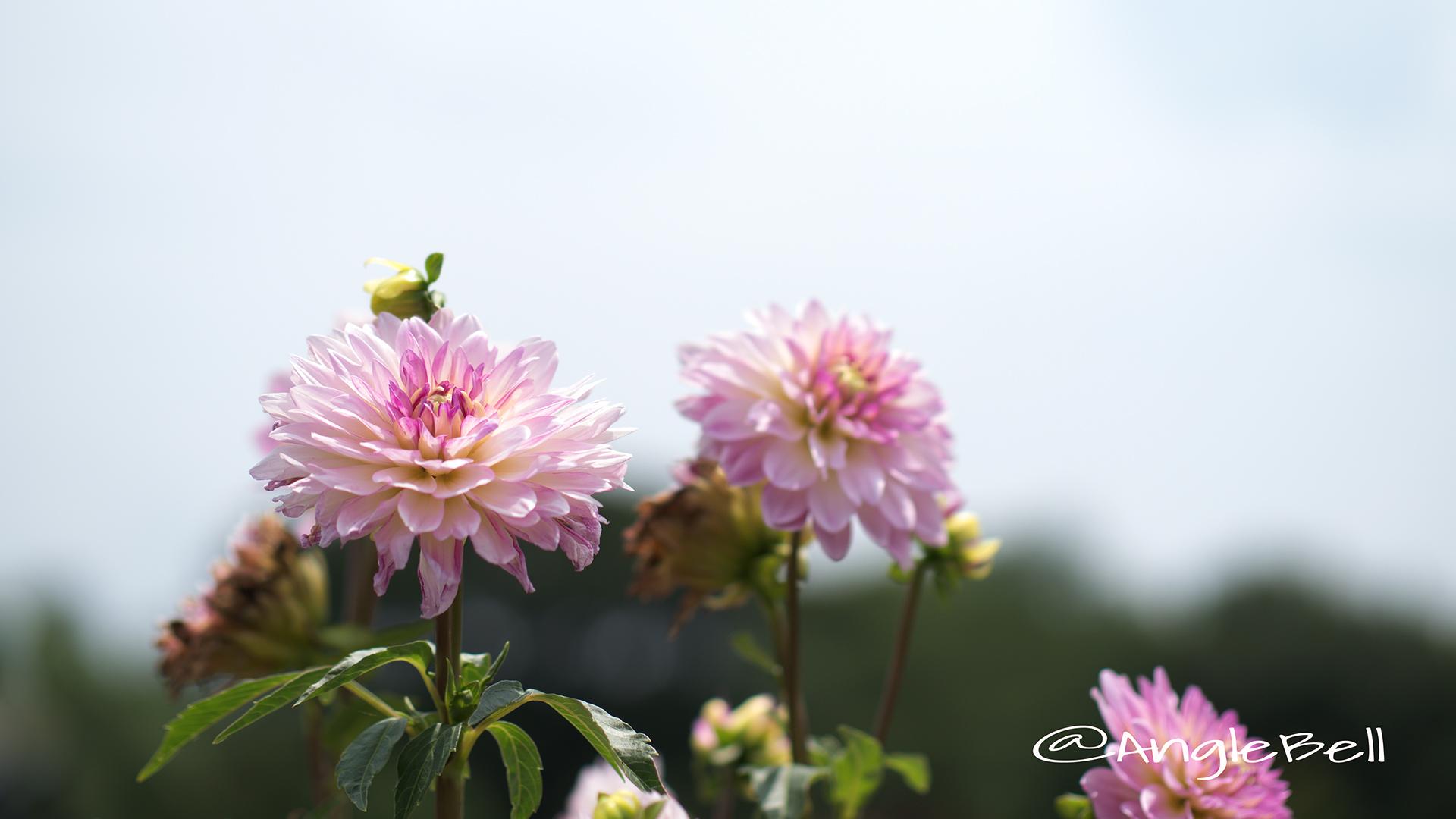 サフラン (ダリア) Flower Photo2