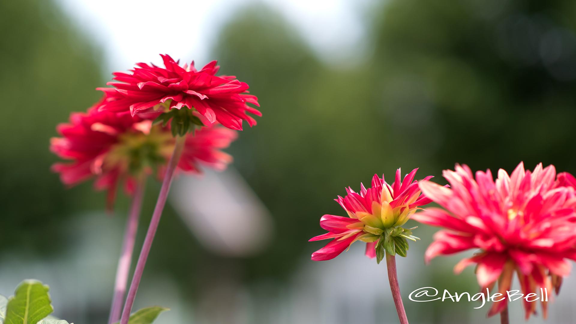 熱唱 (ダリア) Flower Photo2