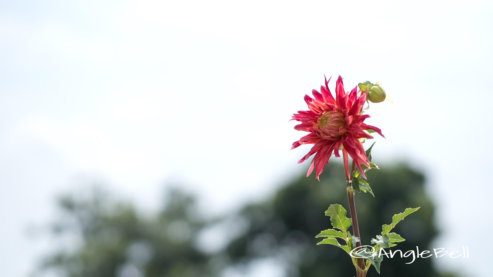 クララヒューストン (ダリア) Flower Photo2