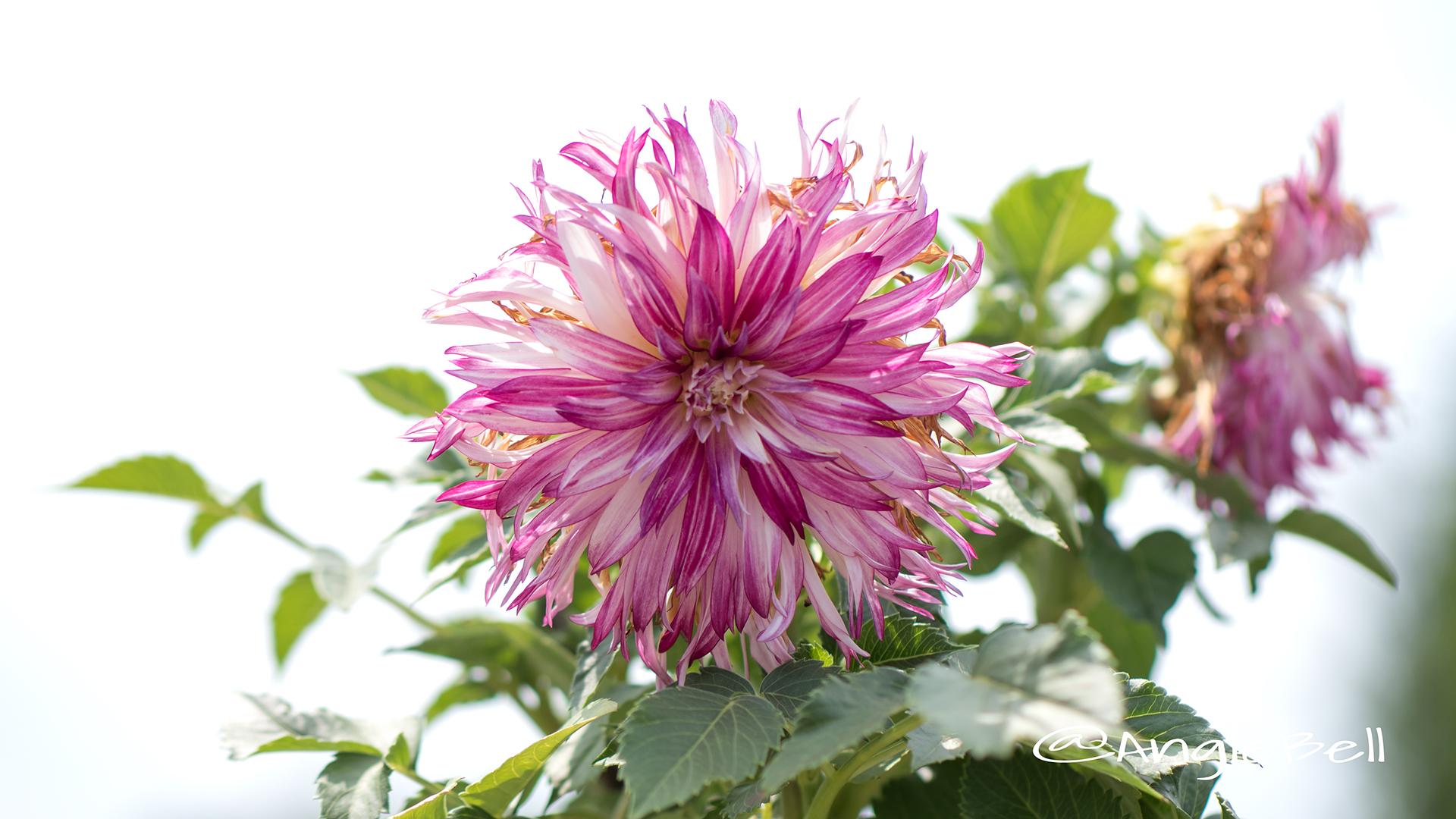 ウェディングマーチ (ダリア) Flower Photo2