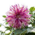 ウェディングマーチ (ダリア) Flower Photo1