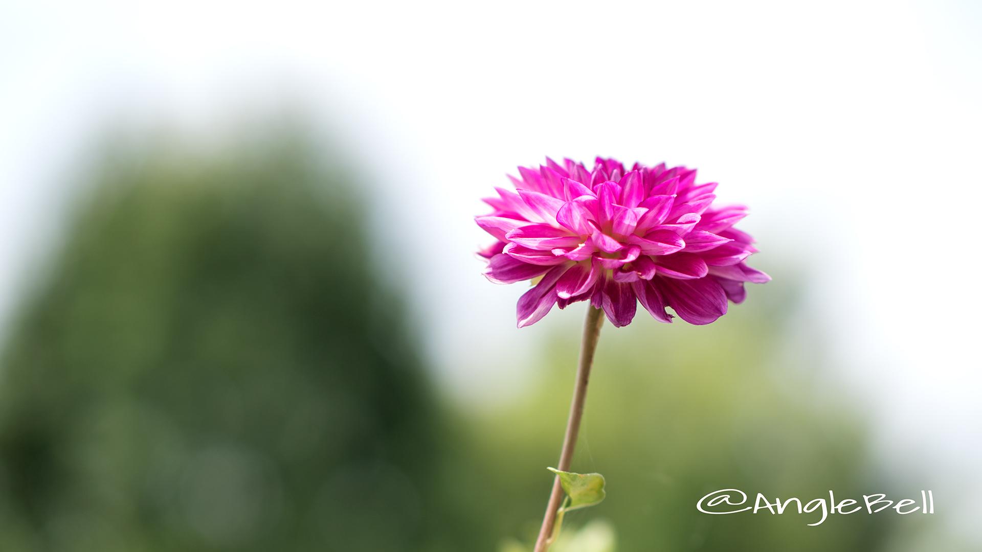 イエスタデー (ダリア) Flower Photo2