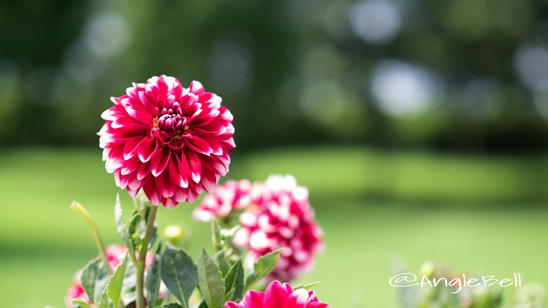 タンピコ (ダリア) Flower Photo2