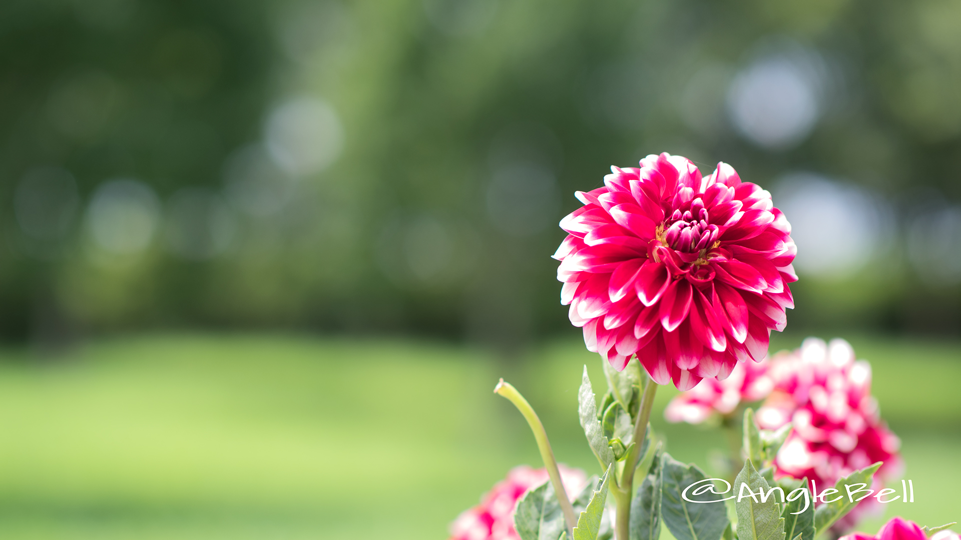 タンピコ (ダリア) Flower Photo3