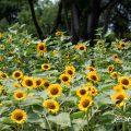 ヒマワリ ビンセントオレンジ Flower Photo1