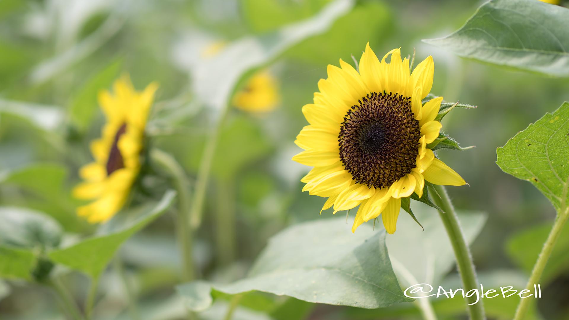 ヒマワリ サンリッチバナナ Flower Photo3