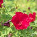 タイタンビカス-バルカン Flower Photo1