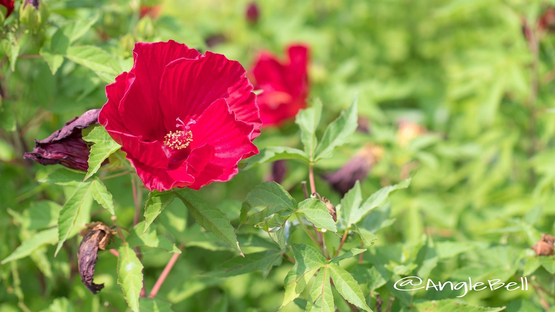 タイタンビカス-バルカン Flower Photo2