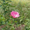 タイタンビカス-アフロディーテ Flower Photo1