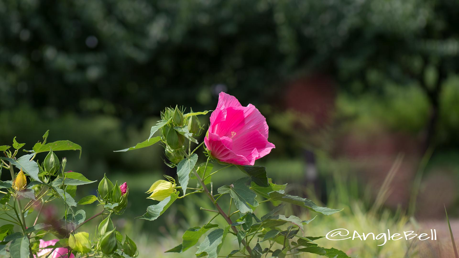 タイタンビカス-アフロディーテ Flower Photo2