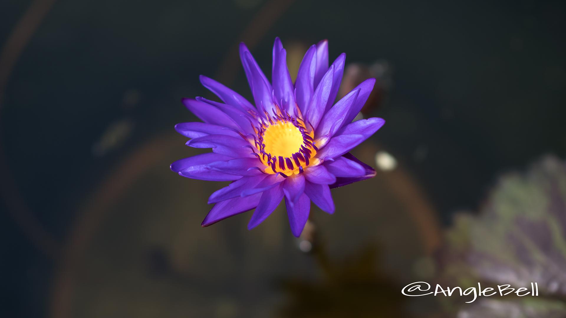 タンザナイト (スイレン) Flower Photo2