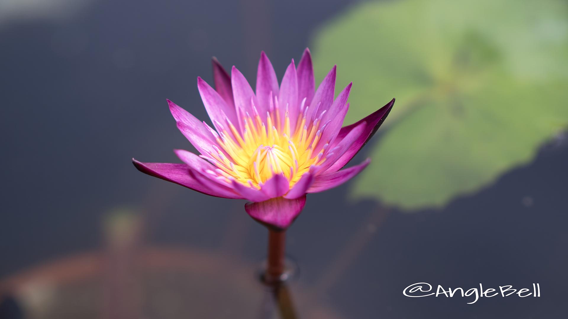 マミヤオ (スイレン) Flower Photo2