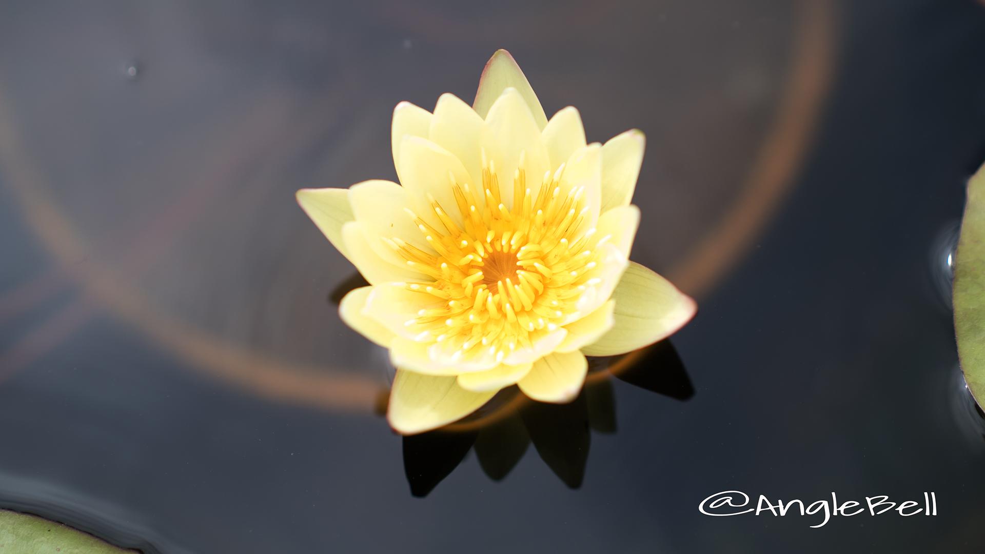 カラーズソンシャイン (スイレン) Flower Photo2