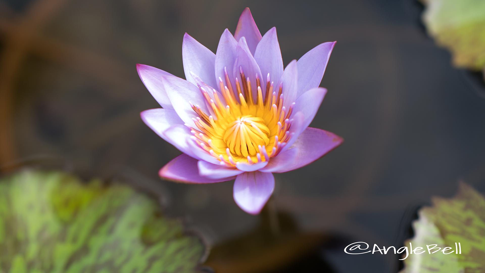 キーラルゴ (スイレン) Flower Photo2