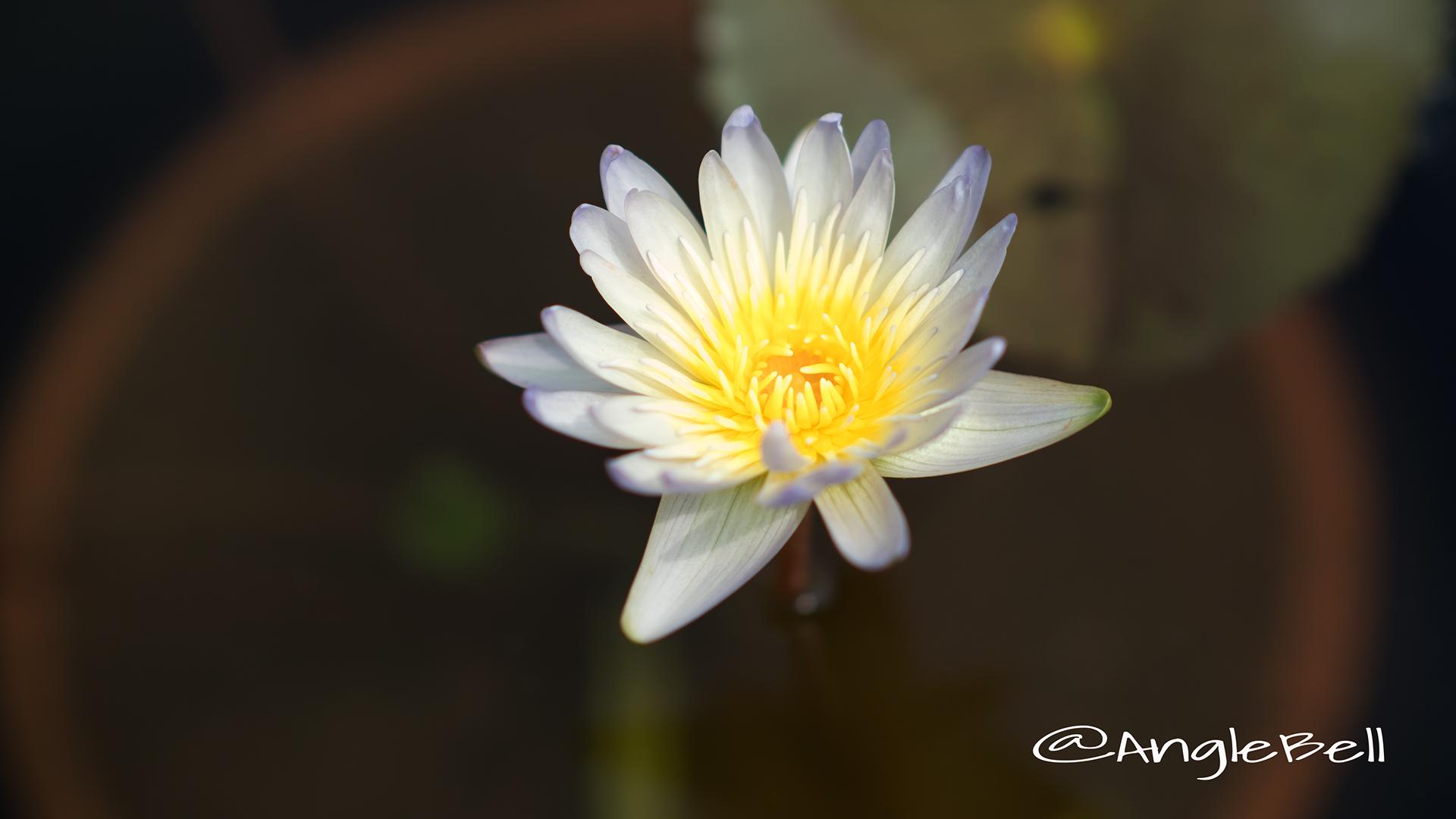 リンエレン (スイレン) Flower Photo2