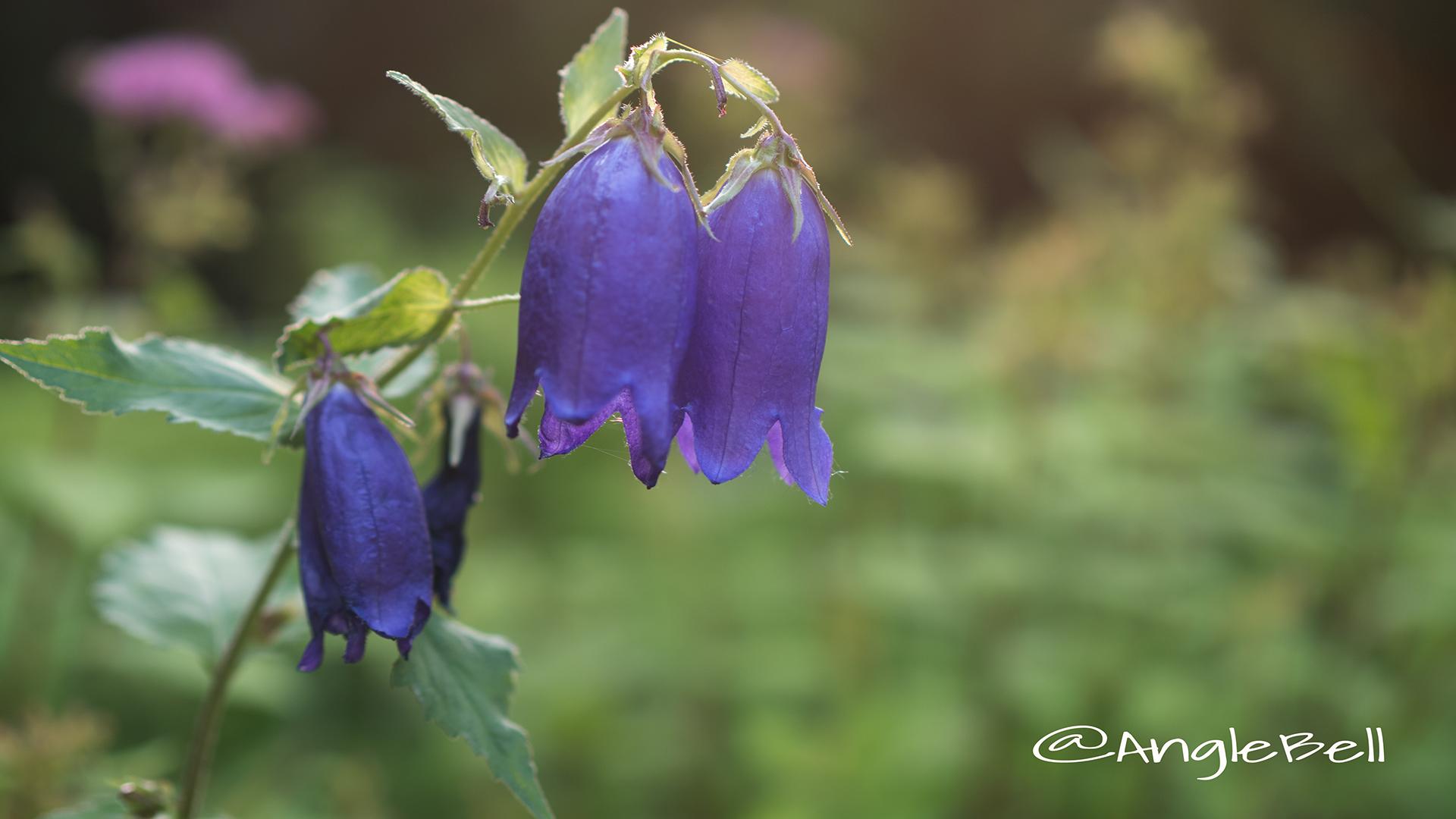 ホタルブクロ 蛍袋 Flower Photo2