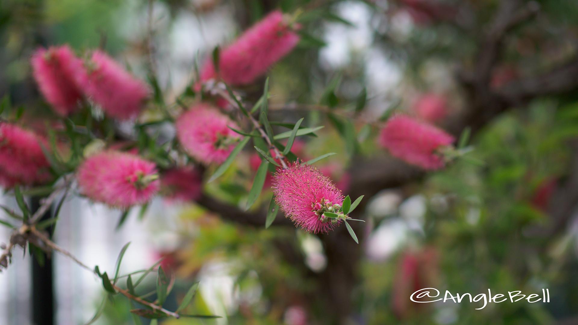 ブラシノキ Flower Photo2