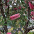 ブラシノキ Flower Photo1