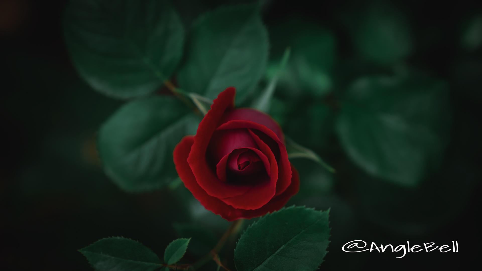 バラ 薔薇 Flower Photo3