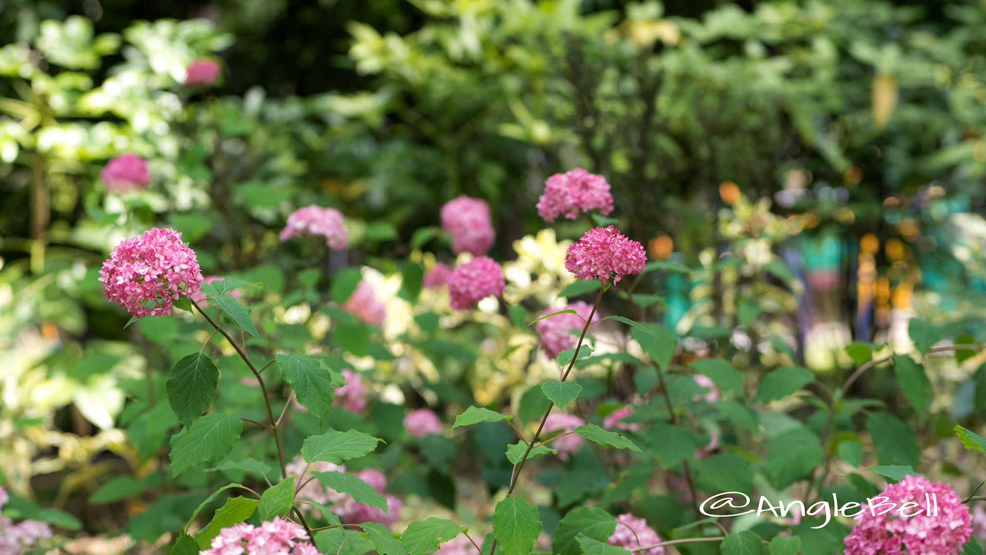 ピンクアナベル Flower Photo4