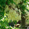 ネグンドカエデフラミンゴ(春) Flower Photo1