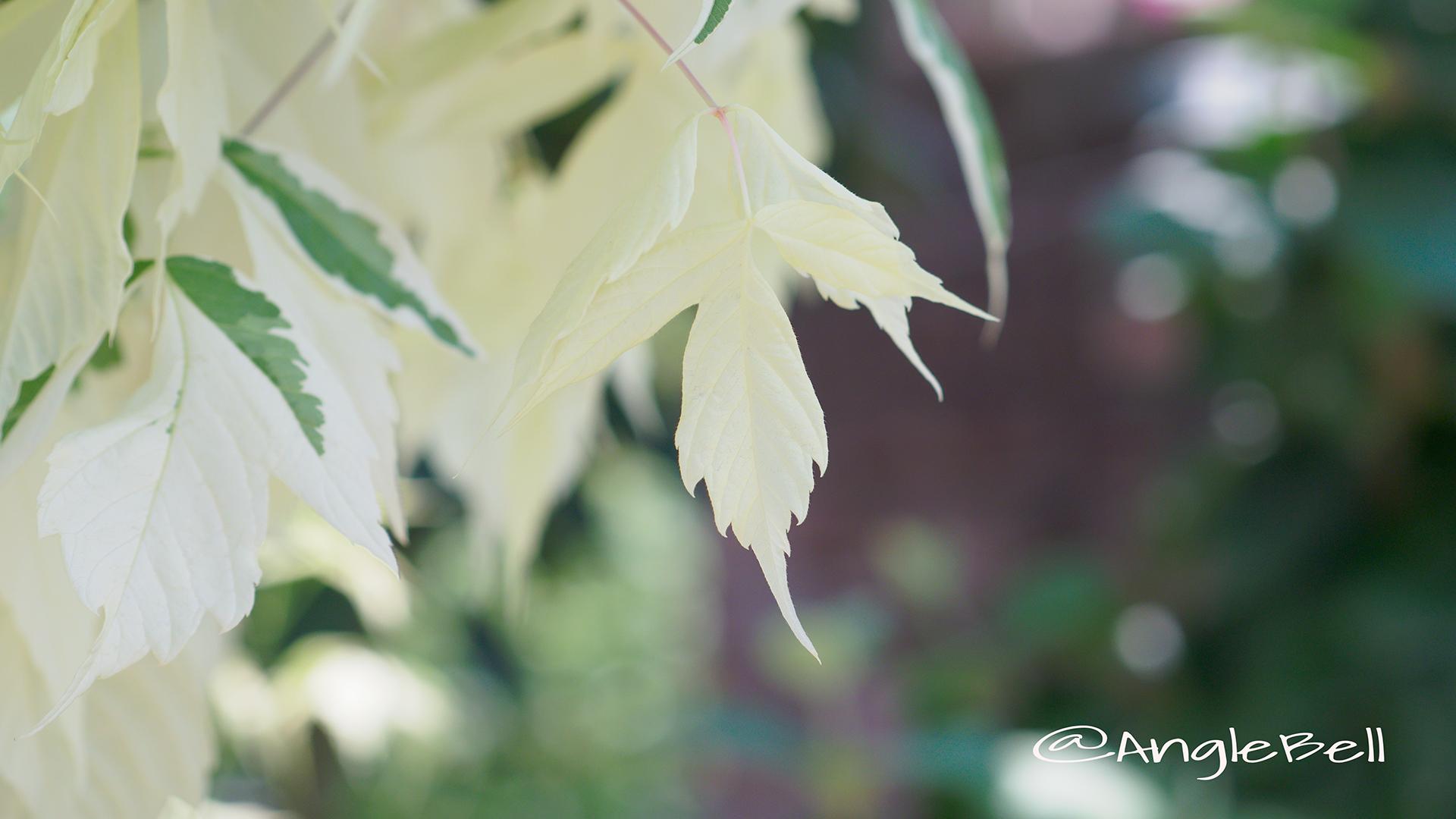 ネグンドカエデフラミンゴ(春) Flower Photo2