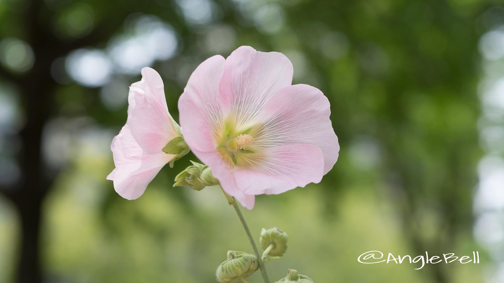 スイフヨウ 酔芙蓉 Flower Photo5