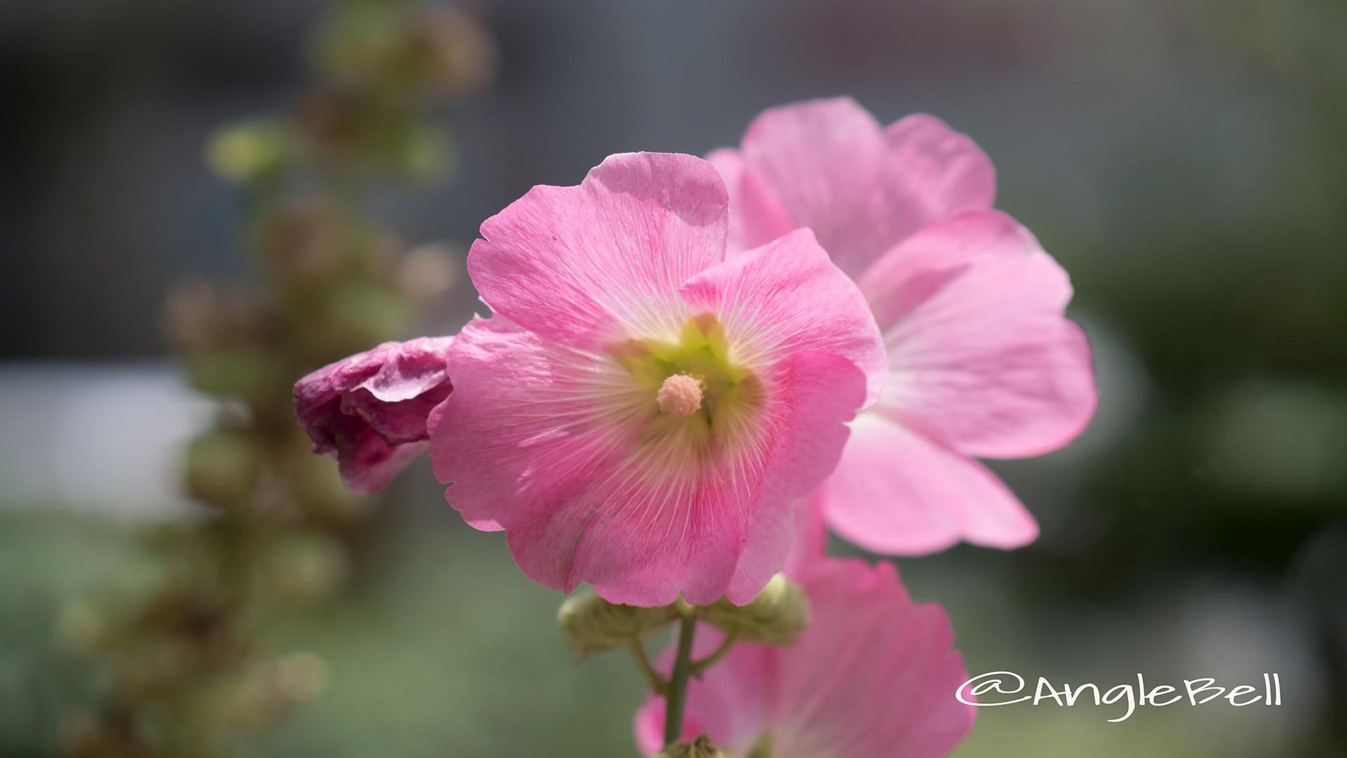 スイフヨウ 酔芙蓉 Flower Photo4