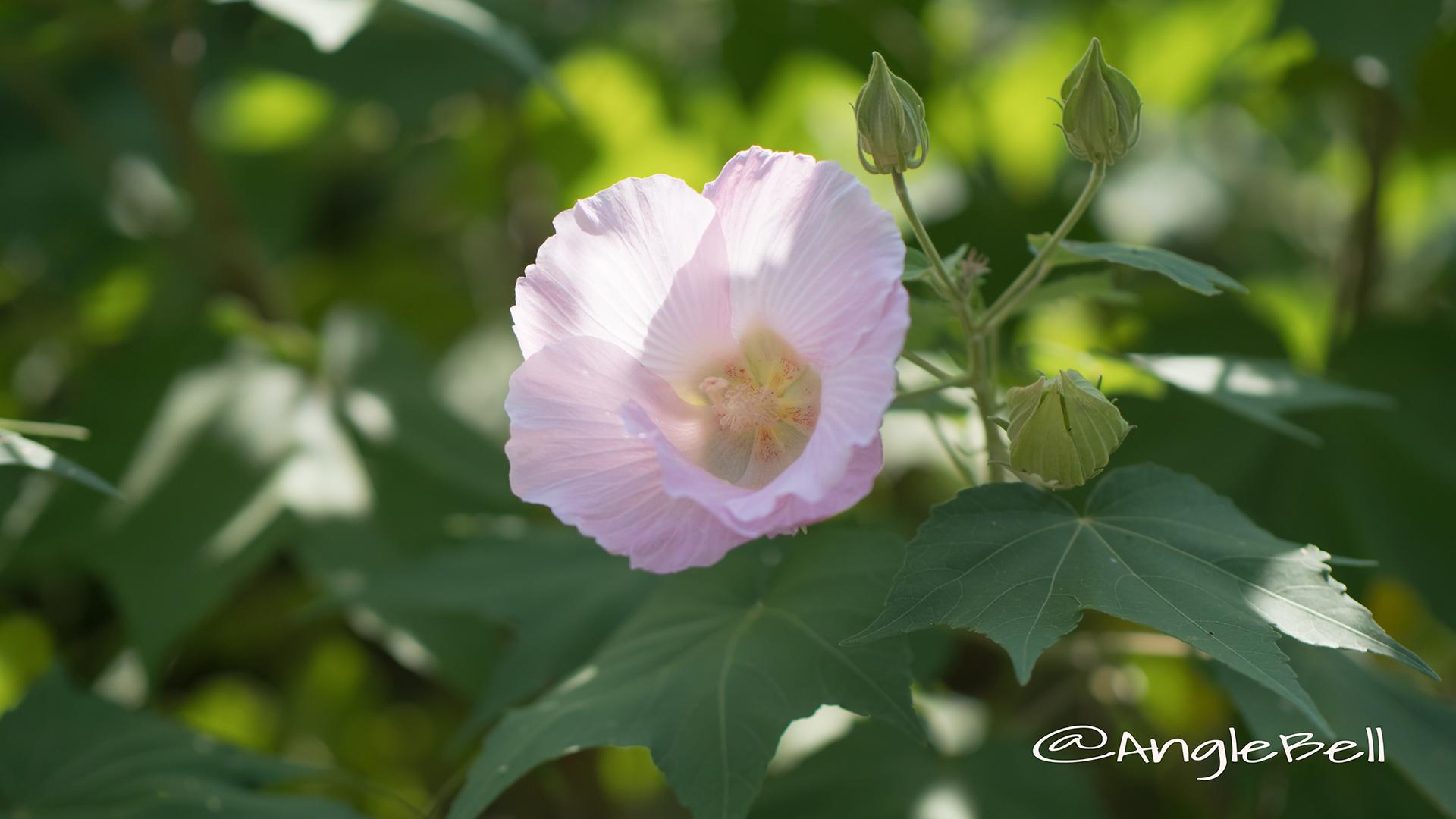 スイフヨウ 酔芙蓉 Flower Photo3
