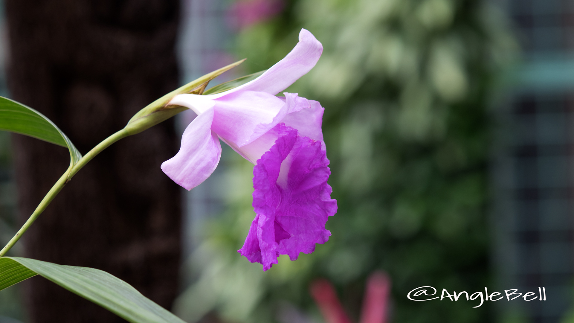 ソブラリア マクランタ Flower Photo3