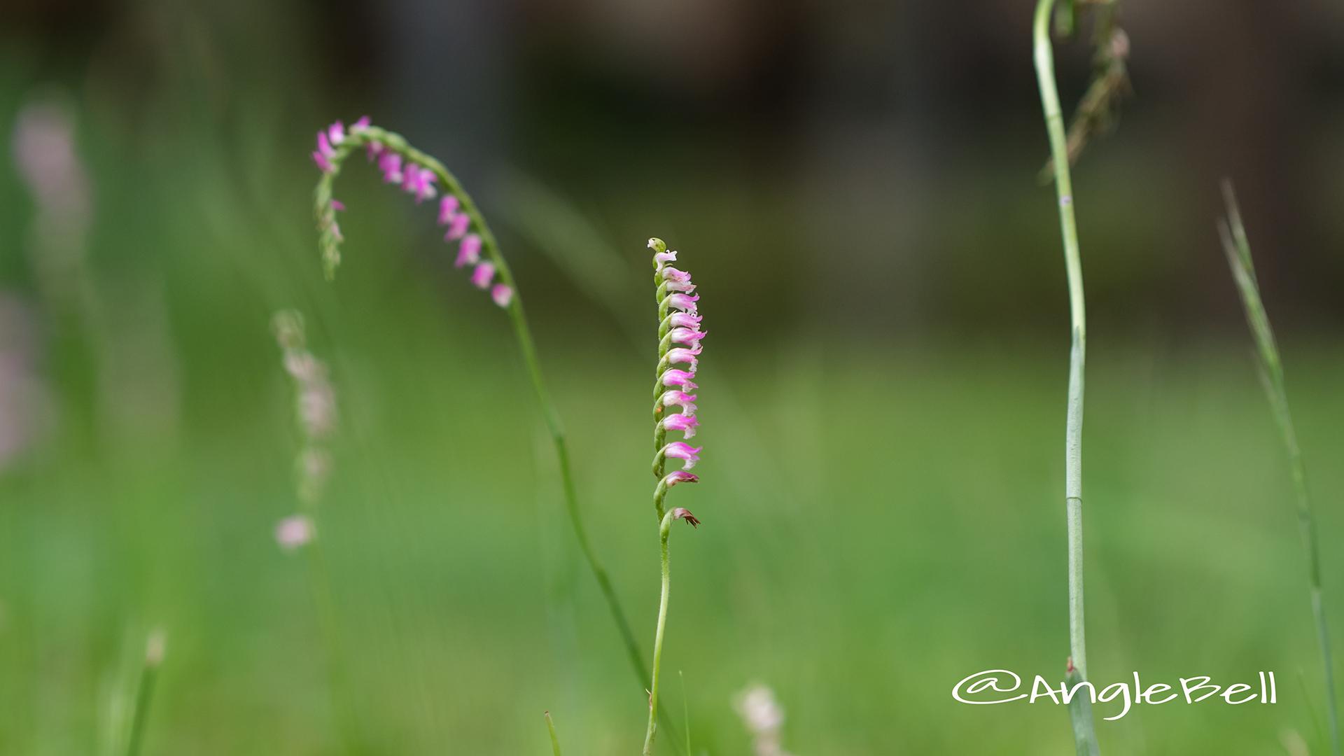 ネジバナ 捩花 Flower Photo3