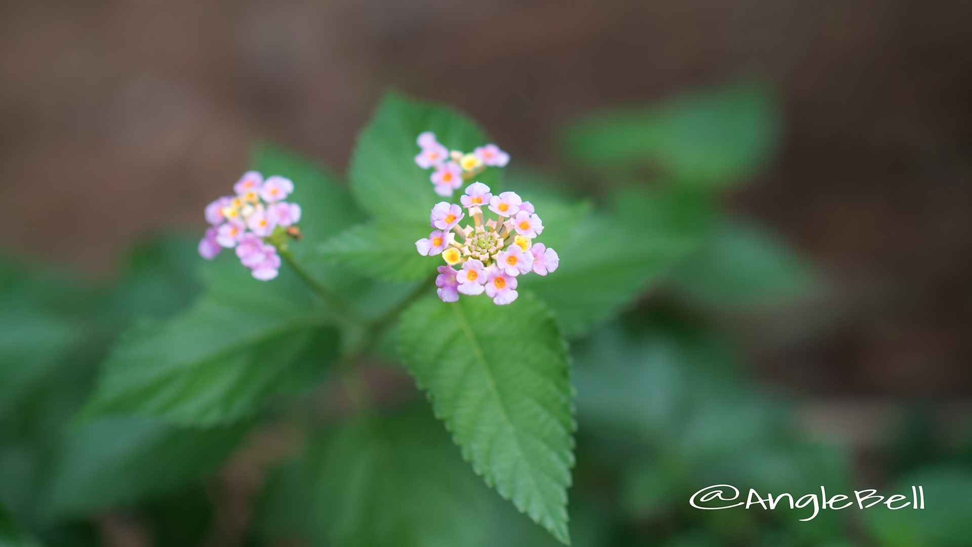 ランタナ Flower Photo2