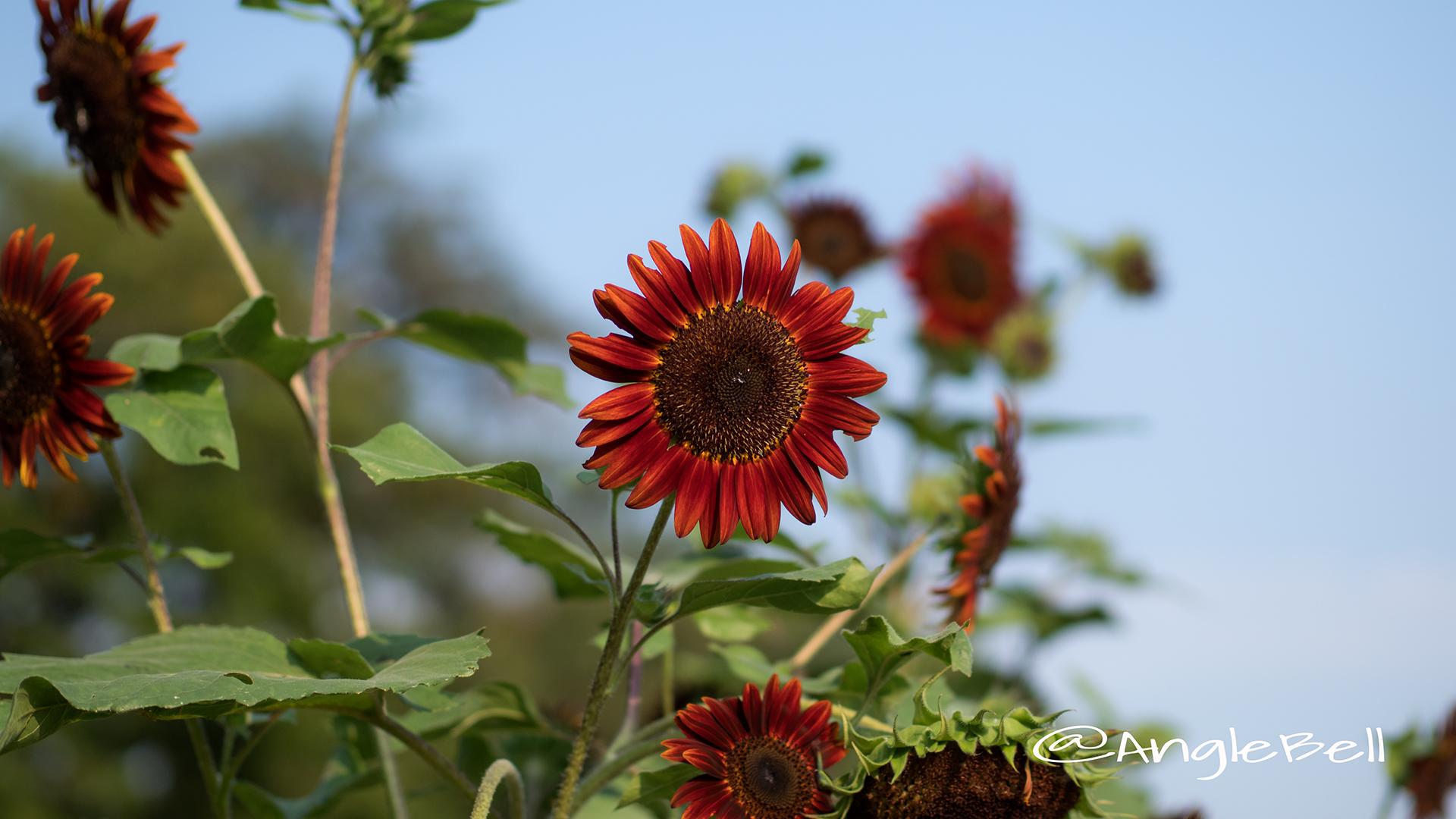 ヒマワリ-ムーランルージュ Flower Photo2