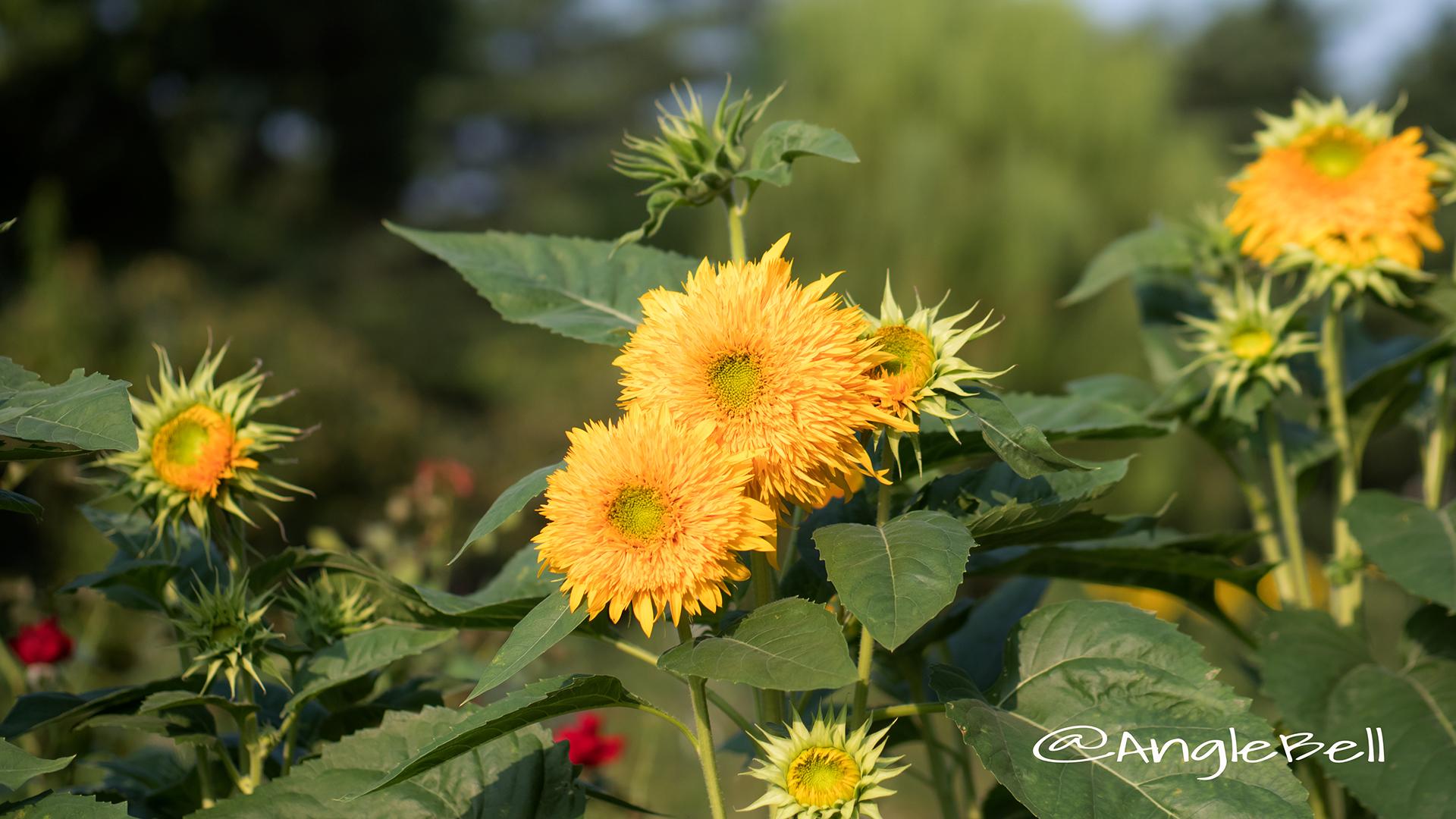 ヒマワリ 東北八重 Flower Photo2