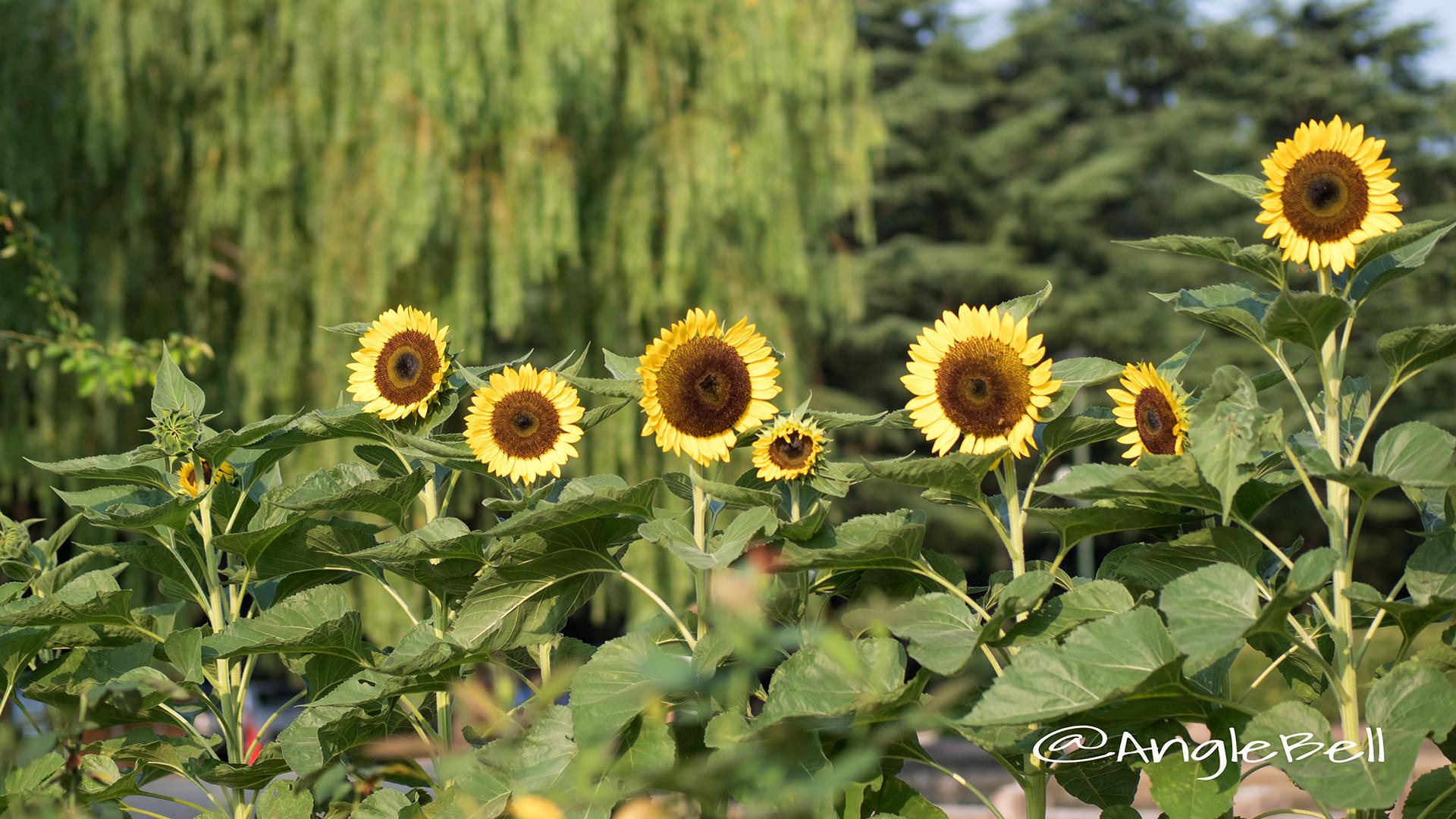 ヒマワリ サンリッチレモン Flower Photo3