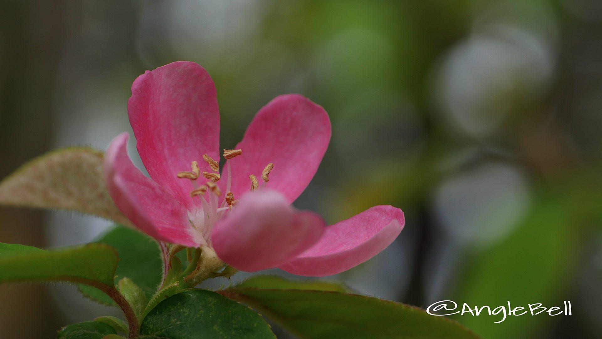 カリン 花梨