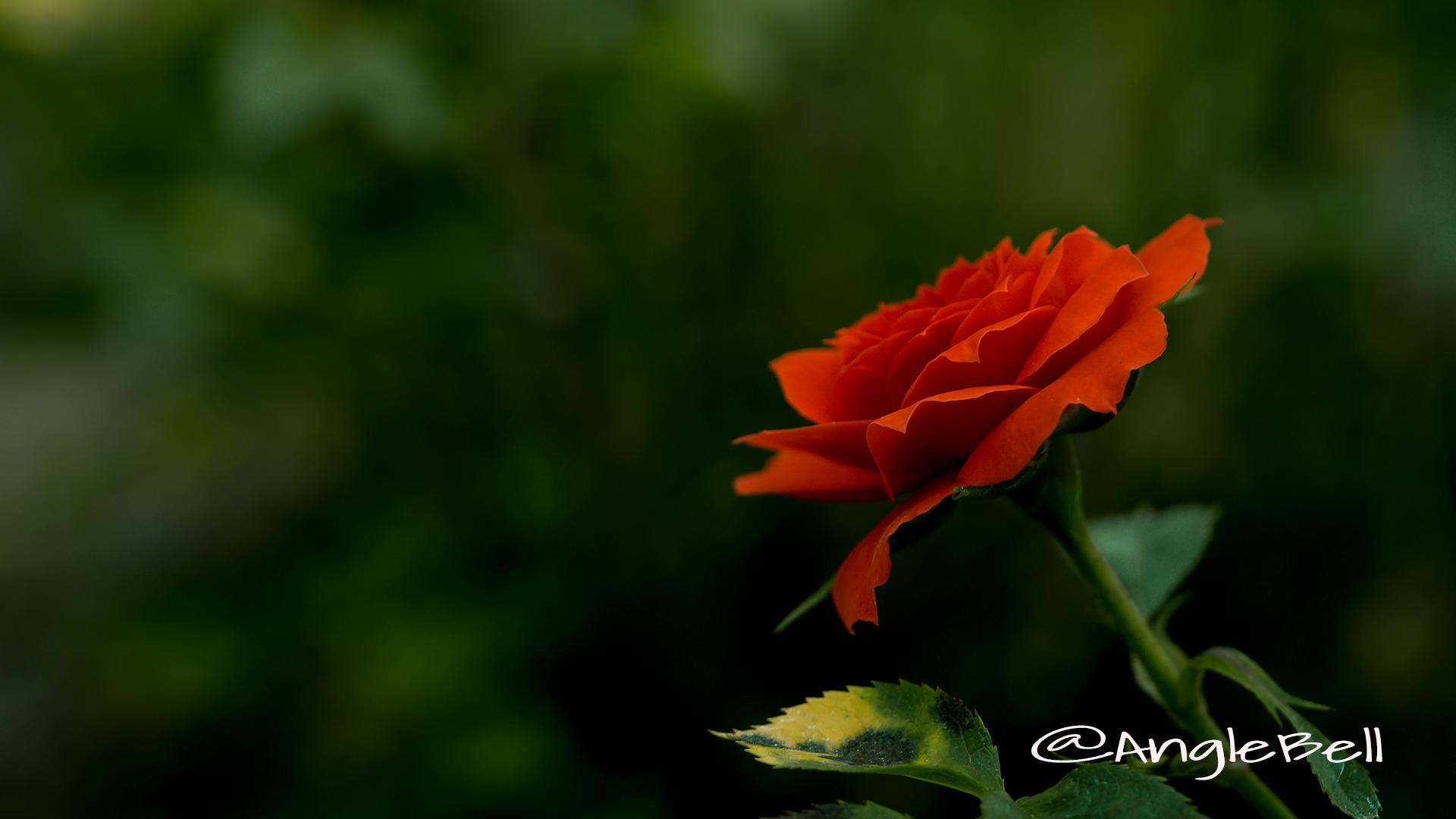 バラ 薔薇 Flower Photo1