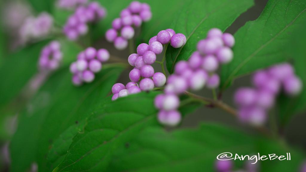 コムラサキ 小紫