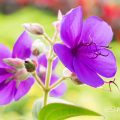 ノボタン Flower Photo2