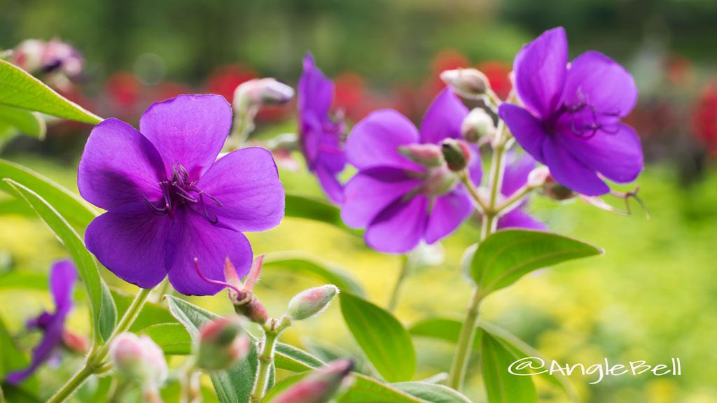 ノボタン Flower Photo3