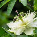 トケイソウ Flower Photo2