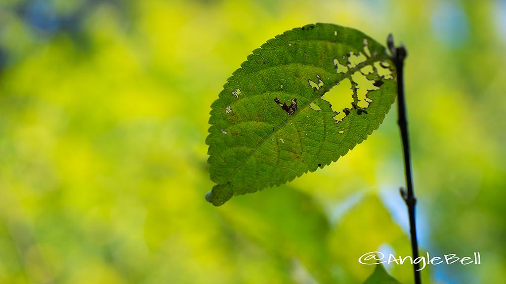 ムラサキシキブ 葉っぱ