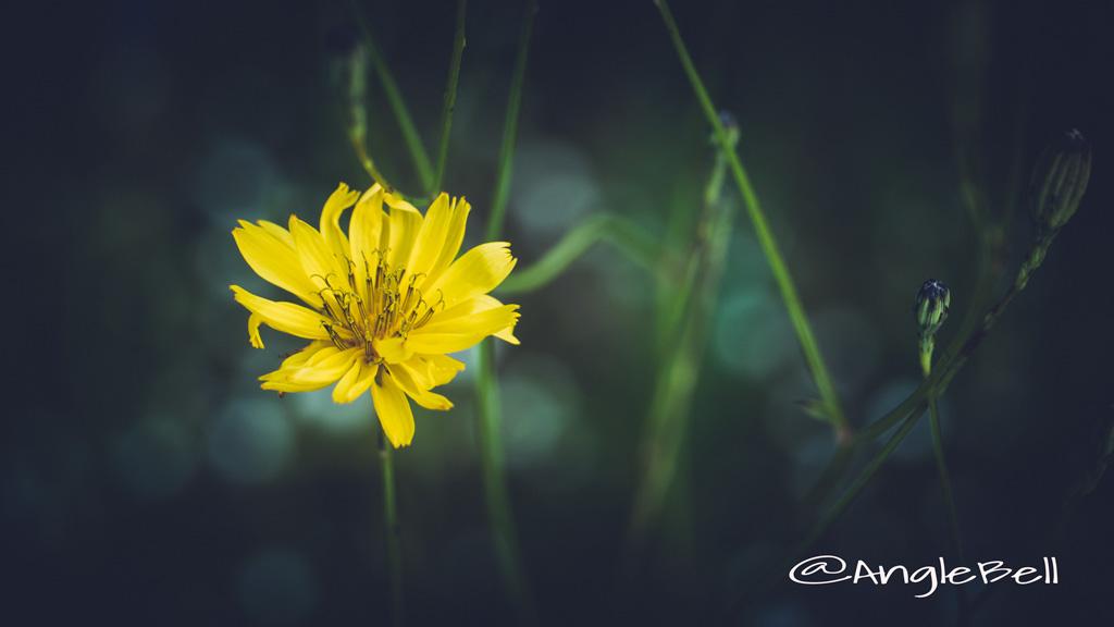 スイラン Flower Photo2