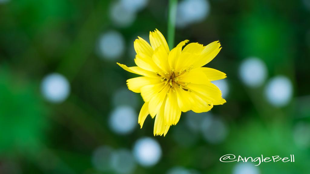 スイラン 水蘭