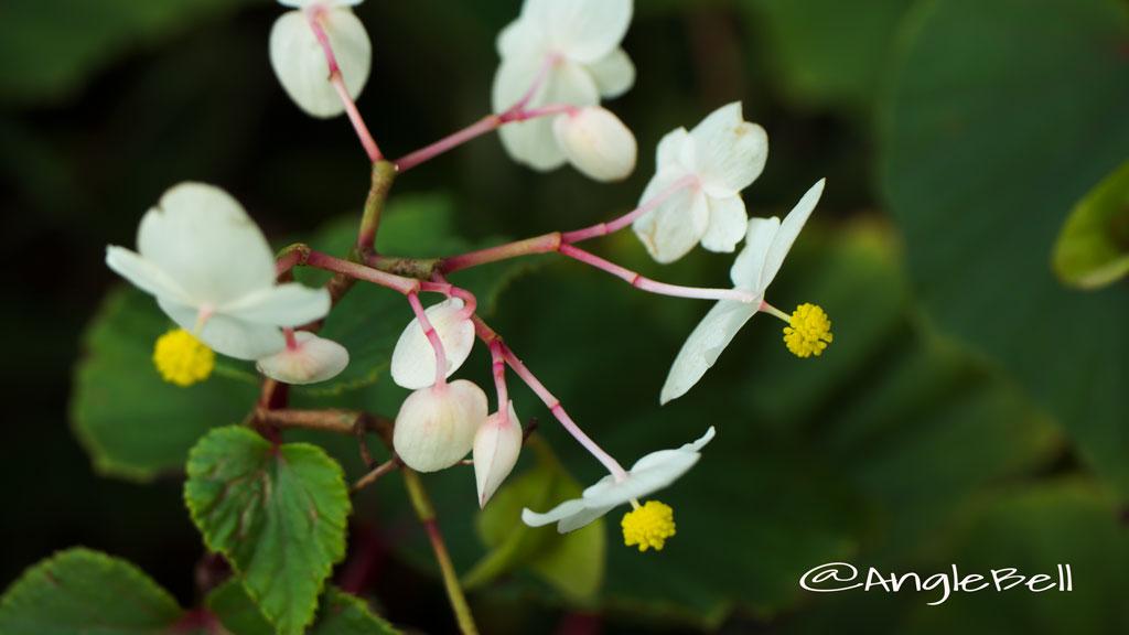 シュウカイドウ autumn Flower Photo1