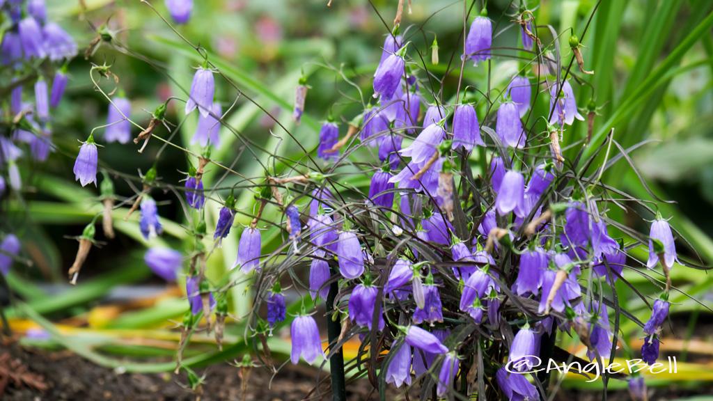 イワシャジン Flower Photo1